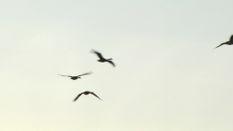 Ontario Geese Part 1