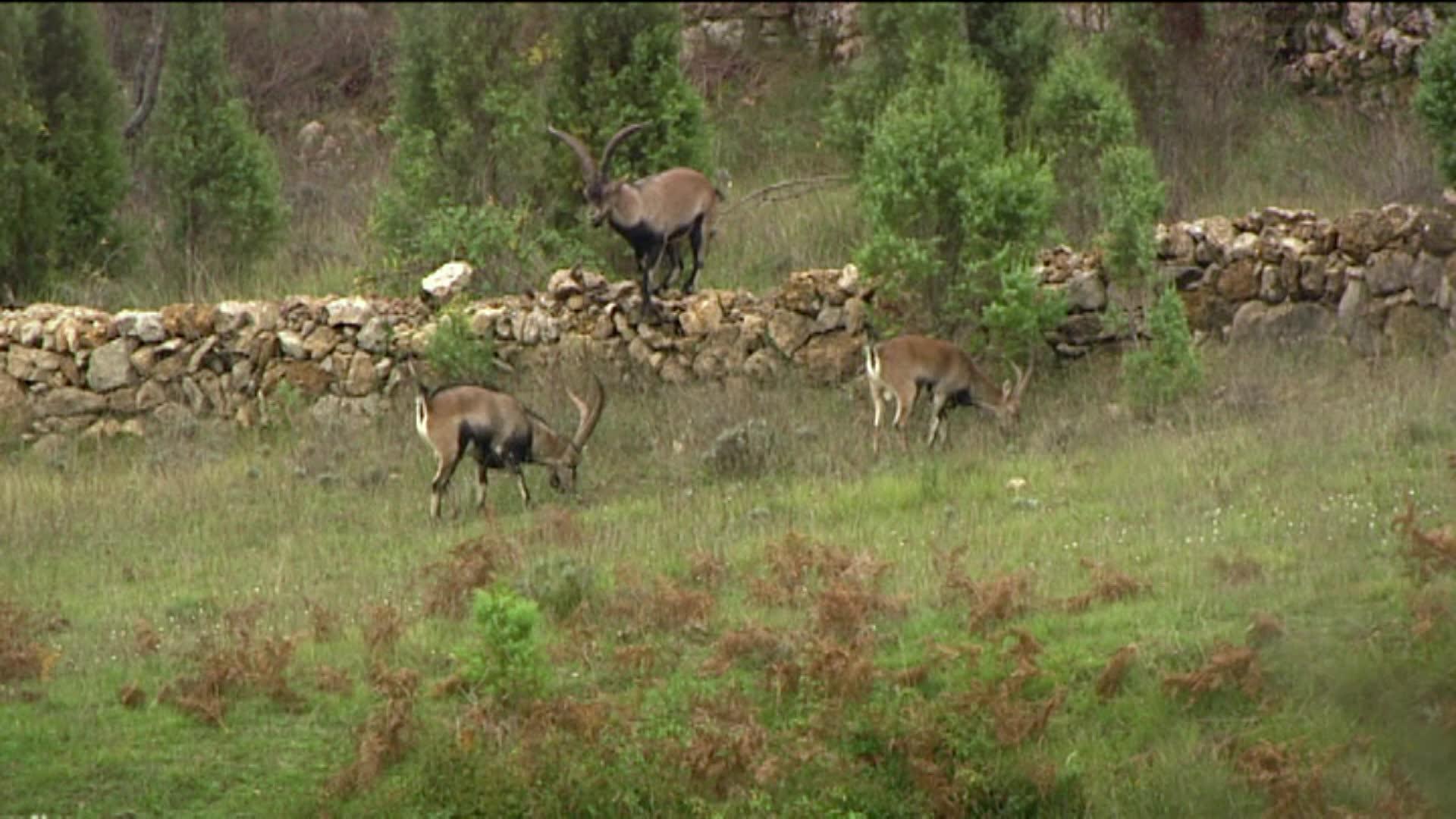 Hunting Ibex Around the World