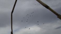 Pacific Wings Mallards