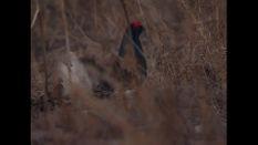 Siberian Buck And Black Grouse