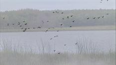 Canadian Waterfowl