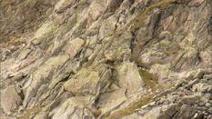 Austrian Chamois & Marmot