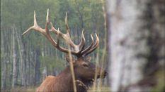 Elk Surprise