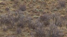 Rutting Mule Deer of the Wasatch