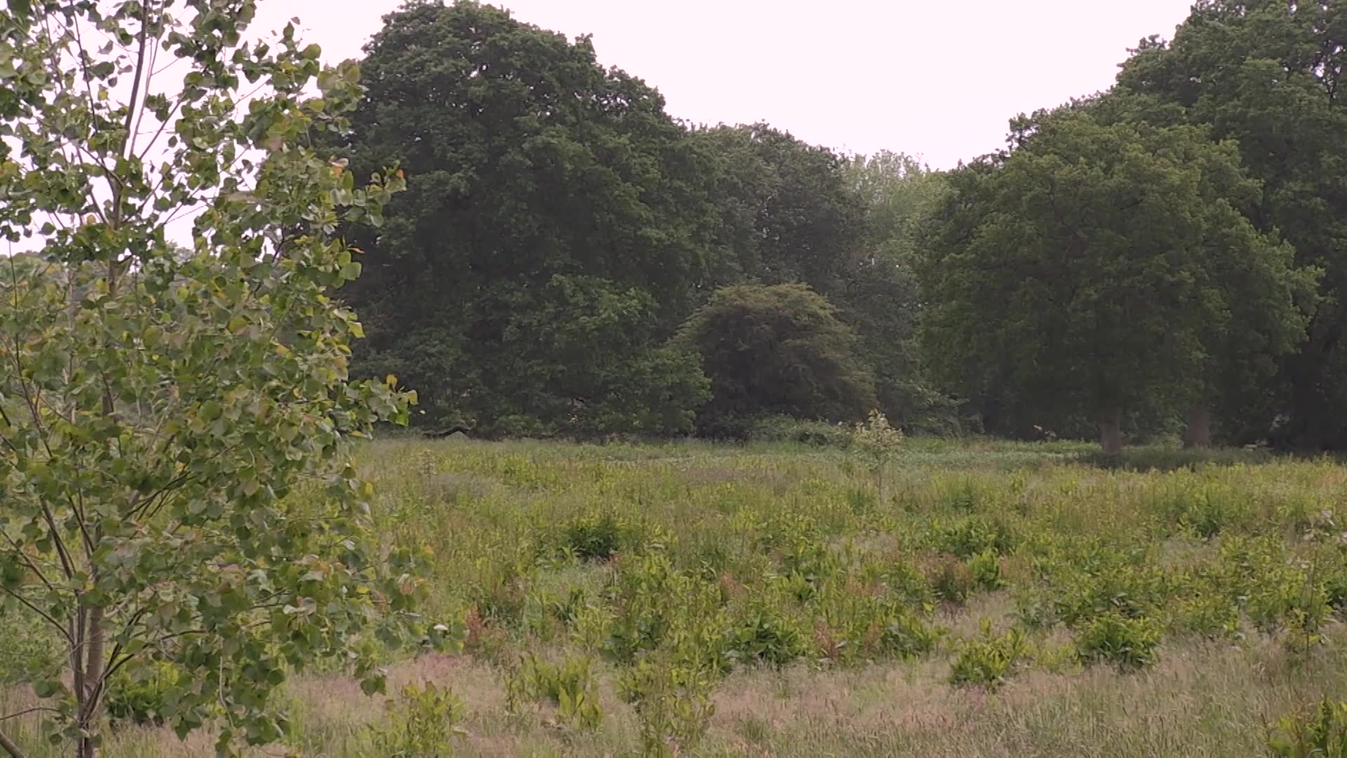 Sparring Roebucks in Oxfordshire