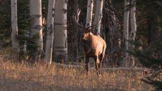 Snake River Elk