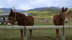 Montana Elk Part 1
