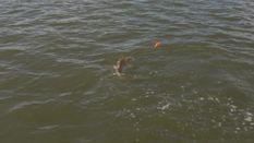 Bull Redfish of Venice, Louisiana