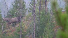 Archery Elk