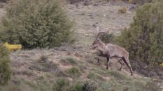 Ibex Hunting in Spain - The Trophy Buck
