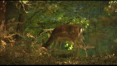 Fallow Deer and Driven Hunts