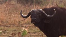 Buffalo Fever