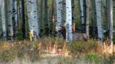 Hunting Roaring Elk Herds In Colorado