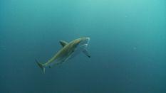 Dusky Sharks