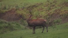 Majestic Stags on Berleburg